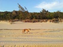 Wilde die hond in Australië wordt gevonden stock foto
