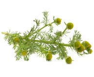 Wilde die Kamille (Pineappleweed) op Witte Achtergrond wordt geïsoleerdu Royalty-vrije Stock Fotografie