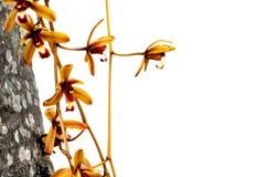 Wilde die orchideebloem over wit wordt geïsoleerd stock foto's
