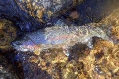 Wilde die regenboogforel in Rocky Mountains wordt gevangen stock foto