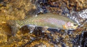 Wilde die regenboogforel in Rocky Mountains wordt gevangen royalty-vrije stock foto