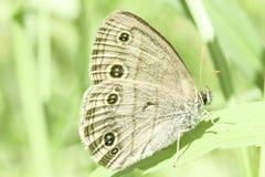 Wilde die Vlinder op een Blad wordt neergestreken Stock Foto