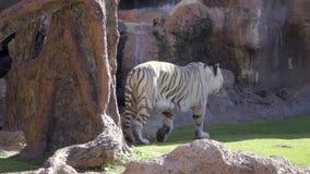 Wilde dieren in dierentuin, de witte tijger van Bengalen dichtbij rots in langzame motie stock footage