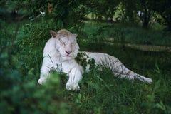 Wilde dieren, witte tijgeralbino die in het gras bij de dierentuin in het afbaarden rusten Royalty-vrije Stock Foto