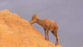 Wilde Dierlijke Hoge de Schapen Mannelijke Ram van het Woestijnbighorn stock video