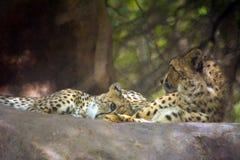 Wilde dierlijke jachtluipaard royalty-vrije stock fotografie