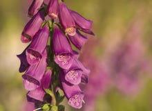 Wilde Digitalis (purpurea van het Vingerhoedskruid) Royalty-vrije Stock Foto's