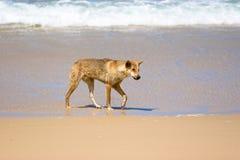 Wilde Dingo op Strand stock afbeelding