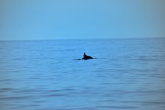 Wilde dolfijn in het Adriatische Overzees, blauwe schaduwen van overzees en hemel Royalty-vrije Stock Foto's