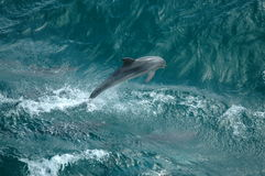 Wilde Dolfijnen Stock Foto's