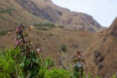 Wilde donkerrode bloemen van de bergen in de Andes Royalty-vrije Stock Fotografie