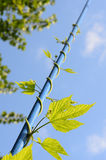 Wilde druif met groene bladeren Stock Foto's