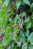 Wilde druiven Stock Fotografie