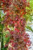 Wilde druiven Royalty-vrije Stock Afbeeldingen