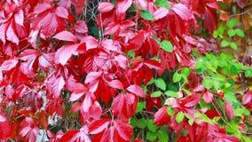 Wilde druiven in de herfst in de zon stock footage