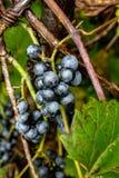 Wilde druiven die op de wijnstok na een nachtendauw groeien royalty-vrije stock afbeelding