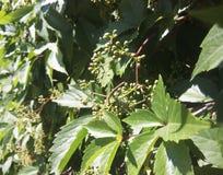 Wilde druiven op de muur Stock Foto's
