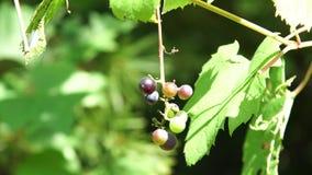 Wilde Druiven op takken stock video