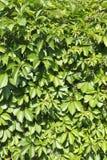 Wilde druivenbladeren op de houten omheining Royalty-vrije Stock Foto's
