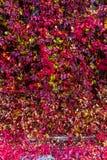 Wilde druivenmuur Royalty-vrije Stock Fotografie