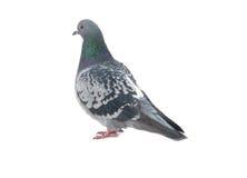 Wilde duif royalty-vrije stock foto