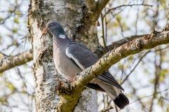 Wilde duif met een tak in zijn bek Royalty-vrije Stock Afbeeldingen