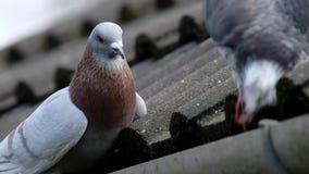 Wilde duiven bij dak het voeden stock footage