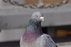 Wilde duiven in de stad royalty-vrije stock foto