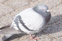 Wilde duiven in de stad stock foto's