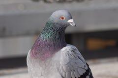 Wilde duiven in de stad royalty-vrije stock afbeelding