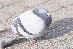 Wilde duiven in de stad stock fotografie