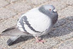 Wilde duiven in de stad royalty-vrije stock afbeeldingen