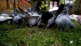 Wilde duiven die in een stedelijke tuin voeden stock videobeelden