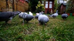 Wilde duiven die in een uban tuin voeden stock footage