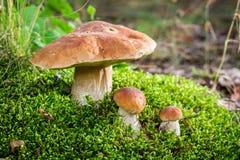 Wilde edele paddestoelen in bos Stock Foto's