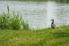 Wilde eend dichtbij water Stock Foto's