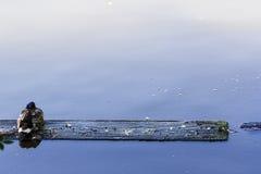 Wilde eend die op een houten plank op water rusten Stock Foto's