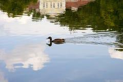 Wilde eend die op een kalm meer in de zomer zonnige dag drijven Royalty-vrije Stock Afbeelding