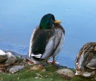 Wilde eend Duck Drake stock foto