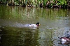 Wilde eend Duck Drake Royalty-vrije Stock Foto