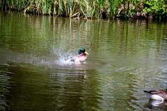 Wilde eend Duck Drake Stock Fotografie