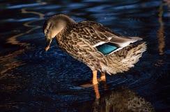 Wilde eend Duck Female Royalty-vrije Stock Afbeeldingen