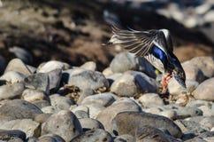 Wilde eend Duck Landing op de Rivierrotsen royalty-vrije stock afbeelding