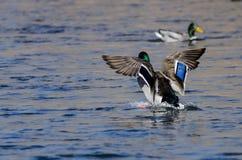 Wilde eend Duck Landing op het Koele Water stock fotografie