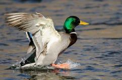 Wilde eend Duck Landing op het Koele Water stock foto
