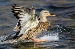 Wilde eend Duck Landing op het Koele Water royalty-vrije stock afbeelding