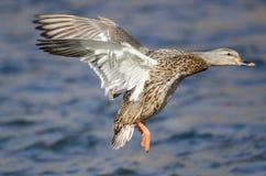 Wilde eend Duck Landing op het Koele Water royalty-vrije stock foto's