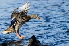 Wilde eend Duck Landing op het Koele Water stock afbeelding