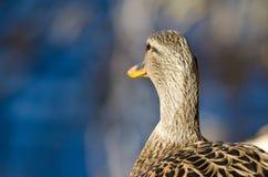 Wilde eend Duck Looking Out Over het Meer stock fotografie