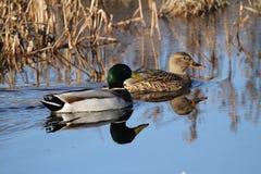 Wilde eend Duck Pair in Kalm Water royalty-vrije stock afbeeldingen
